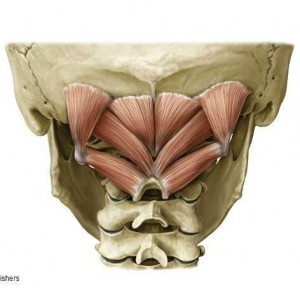 suboccipital_muscles1310445658559